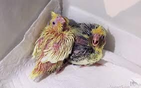 baby cockatiels2