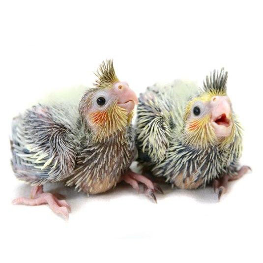 cockatiel-babies600x600
